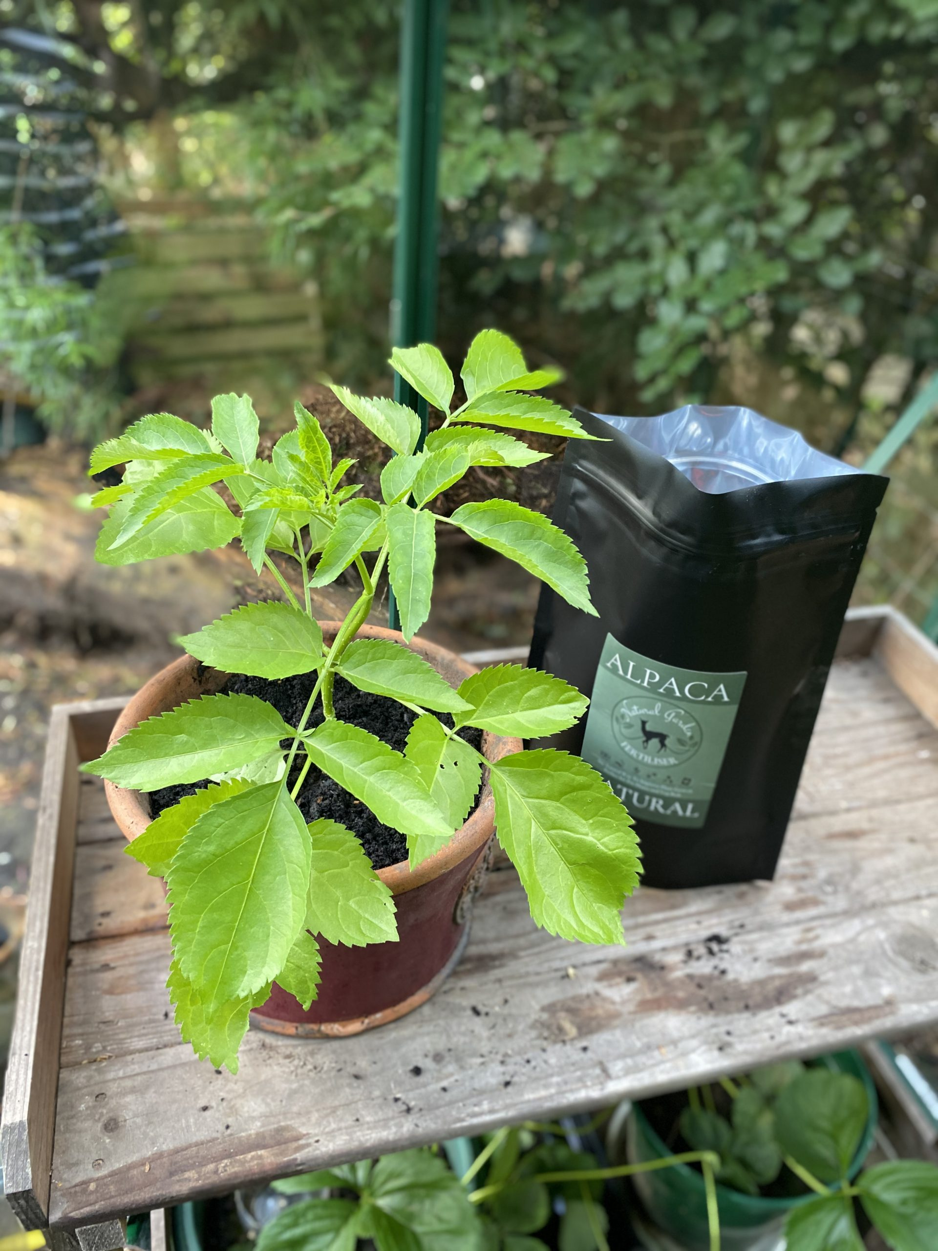 Repotted rose cutting